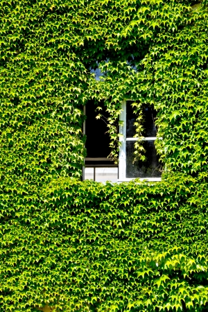 facade with open window overgrown with vine leaves