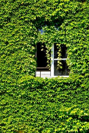 open window: fachada con ventana abierta cubierto de hojas de vid