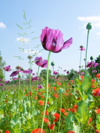 a field with lilac and red poppies Stock Photo