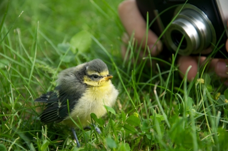 confiding: a young tit getting photographed by a person
