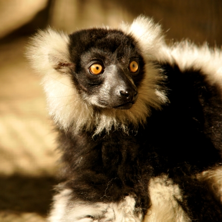 closeup of a lemur photo