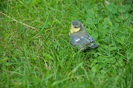 confiding: a nestling sitting in the lawn