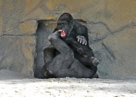 gorilla: gorila lucha