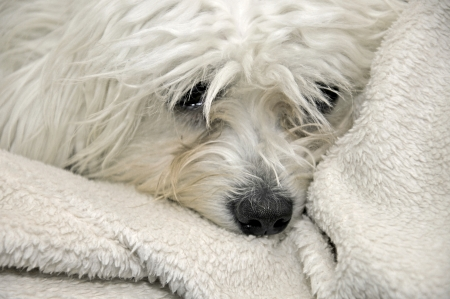 a sad malteser lying on a sheep wool blanket Stock Photo