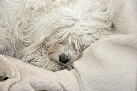 a malteser sleeping on a sheep wool blanket Stock Photo - 15257168
