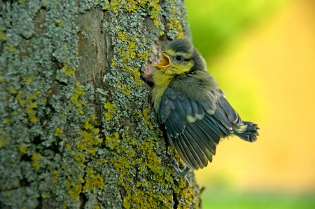 confiding: a young tit sitting on a tree trunk and chirping