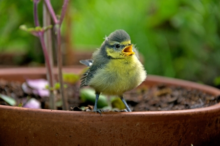 confiding: nestling sitting on a clay flowerpot and chirping