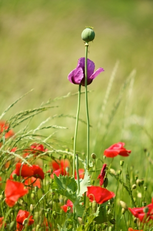 protrude: a lilac poppy protruding out of a red poppy field