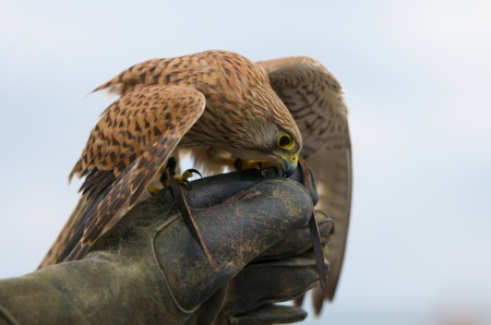 outspread: a hawk with outspread wings on falconers hand