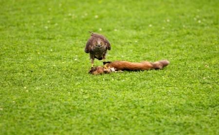 slaying: a goshawk slaying a weasel Stock Photo