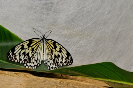 unclosed: black and white striped butterfly on a leaf - rice paper butterfly