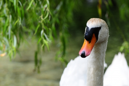 swan on the lake with a willow tree in the background Stock Photo - 15257151