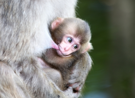 teat: macaque baby sucking on mothers teat