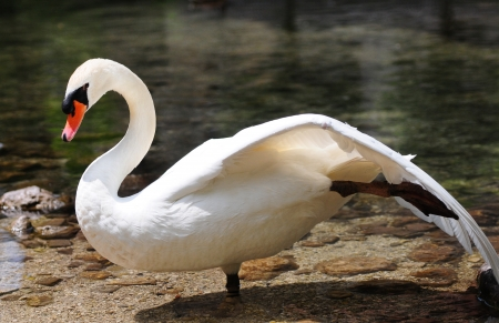 swan with outspread wings standing on the waterside Stock Photo - 15317568