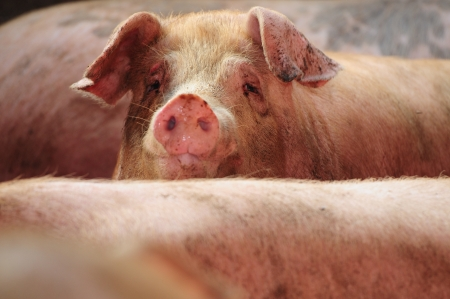 curious pig Archivio Fotografico