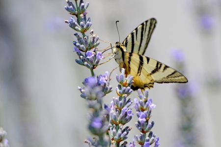 swallowtail resting on a lavender bloom photo