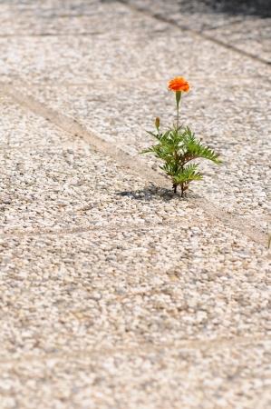 orange marigold growing out of a cobblestone floor Archivio Fotografico