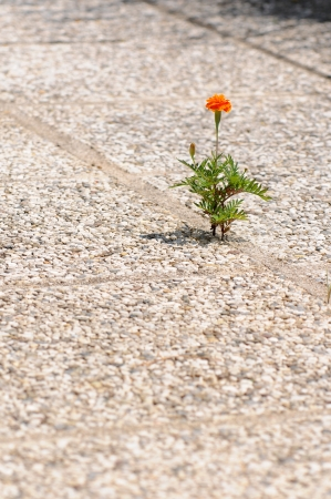 orange marigold growing out of a cobblestone floor Stock Photo