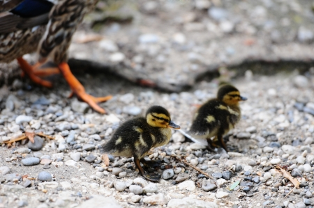 waddling: two ducklings and mother waddling at the waterside