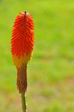 kniphofia on a soft green background