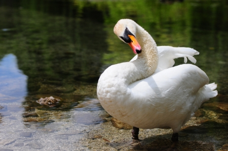 swan cleaning its plumage Stock Photo - 15317613