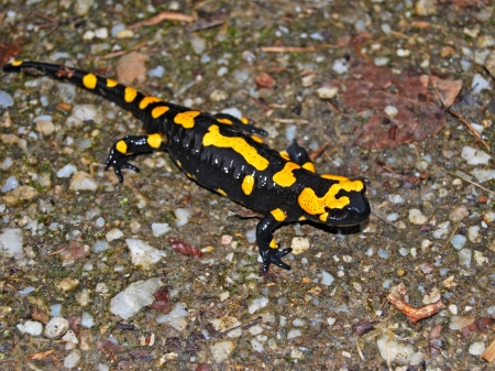 fire salamander crawling on the forest floor photo