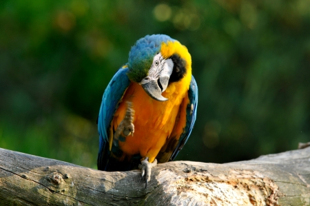 confiding: parrot sitting on a bole and scratching its plumage Stock Photo