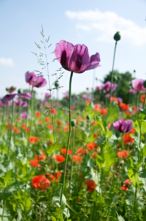 field with lilac and red poppies