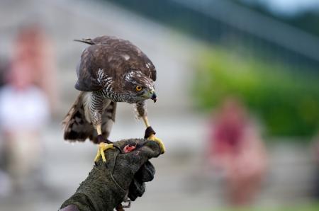 goshawk: goshawk on falconers hand