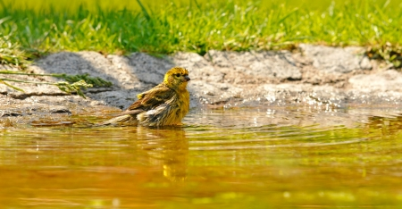 confiding: little yellow bird bathing in a pond