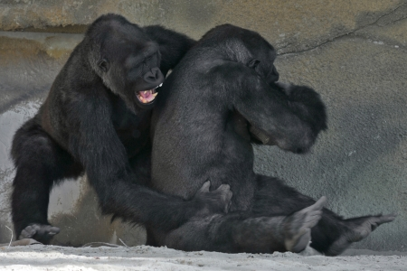 gorilla fight photo