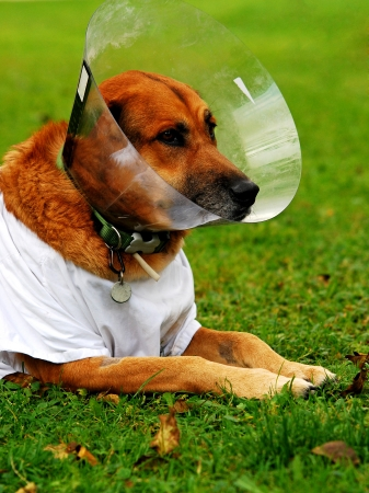 diseased: diseased dog lying in the lawn wearing a toby collar and a white shirt Stock Photo