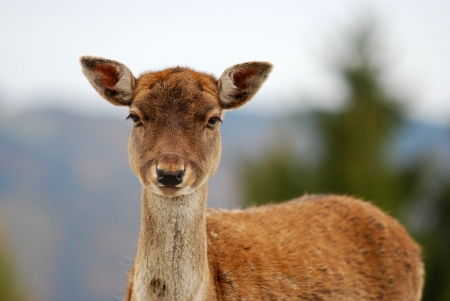 confiding: portrait of a young deer