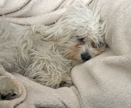 a malteser dog sleeping on a sheep wool blanket Stock Photo - 15355500