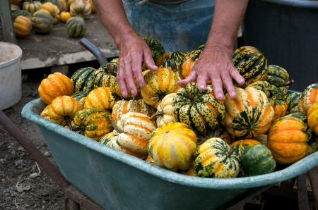 pushcart: a person washing pumpkins in a pushcart