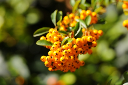 ashberry: yellow ashberry shrub on a soft green background