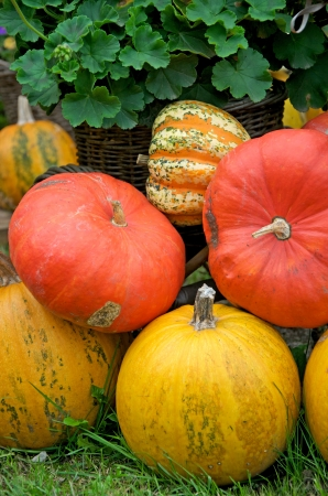 various pumpkins and geranium on the meadow photo