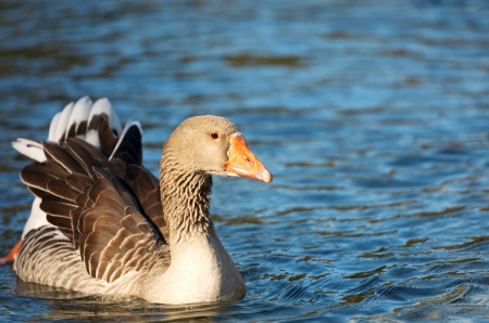 duck with outspread wings swimming on the lake Stock Photo