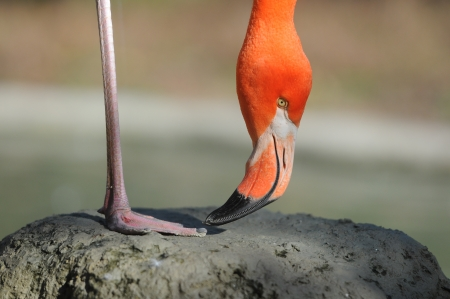 flamingo standing with one leg on a stone Stock Photo - 16005850