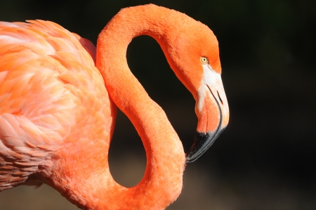 flamingo on a black background Stock Photo - 16005849