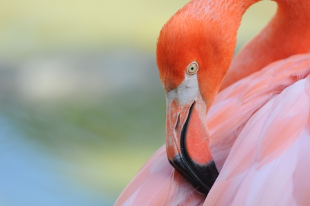 plumage: flamingo cleaning its plumage