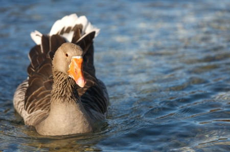 outspread: duck with outspread wings swimming on the lake Stock Photo