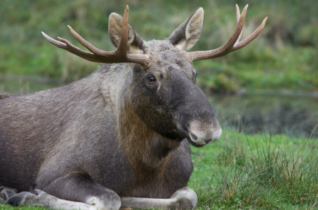 bull elk resting on the meadow Stock Photo - 16268754