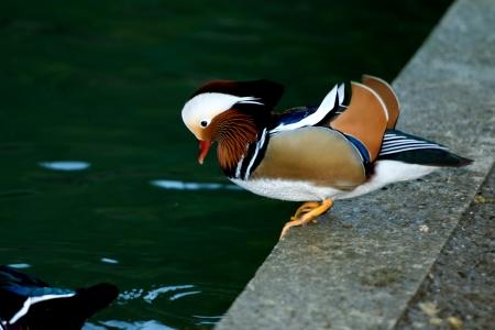 waterside: Aix galericulata duck standing on the waterside Stock Photo