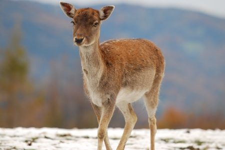 lonesome young deer in winter photo