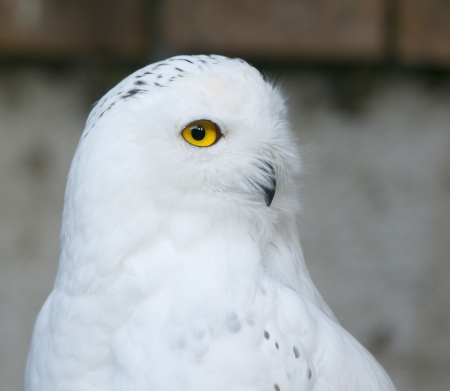 side face of a snowy owl photo