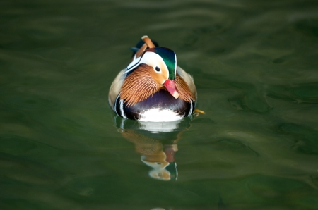Aix galericulata duck swimming on the lake Stock Photo - 16459230