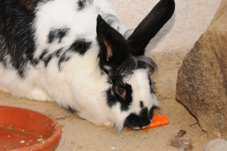 confiding: black and white colored rabbit eating a carrot