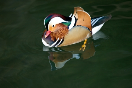 Aix galericulata duck swimming on the lake Stock Photo - 16624479
