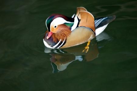 aix galericulata: Aix galericulata duck swimming on the lake